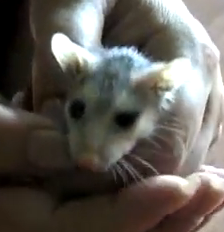 opossum baby.png